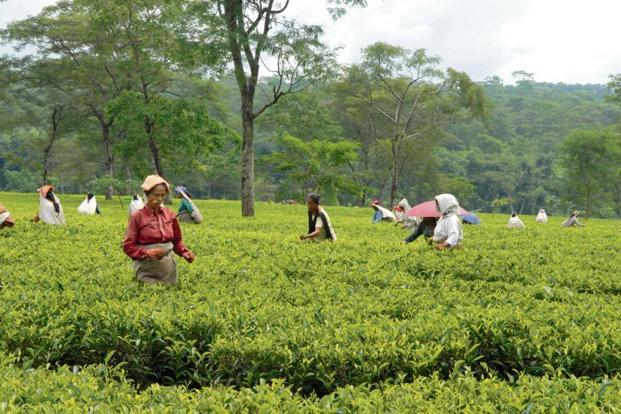 Assam Co. has 14 estates and produces around 10 million kg of tea every year. Photo: Mint
